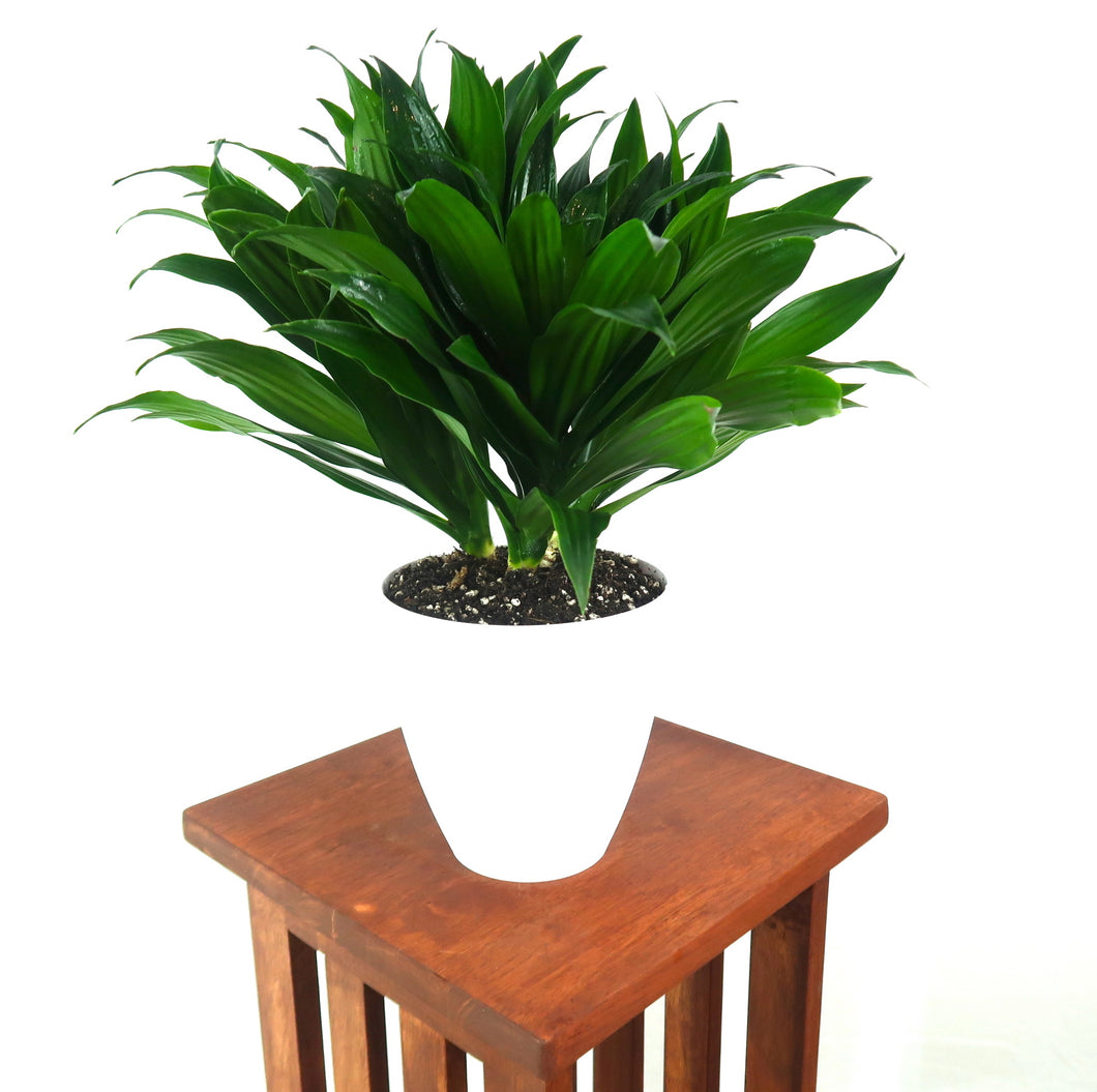 Large Dracaena Janet Craig Compacta (Dracaena Fragrans)  in 6