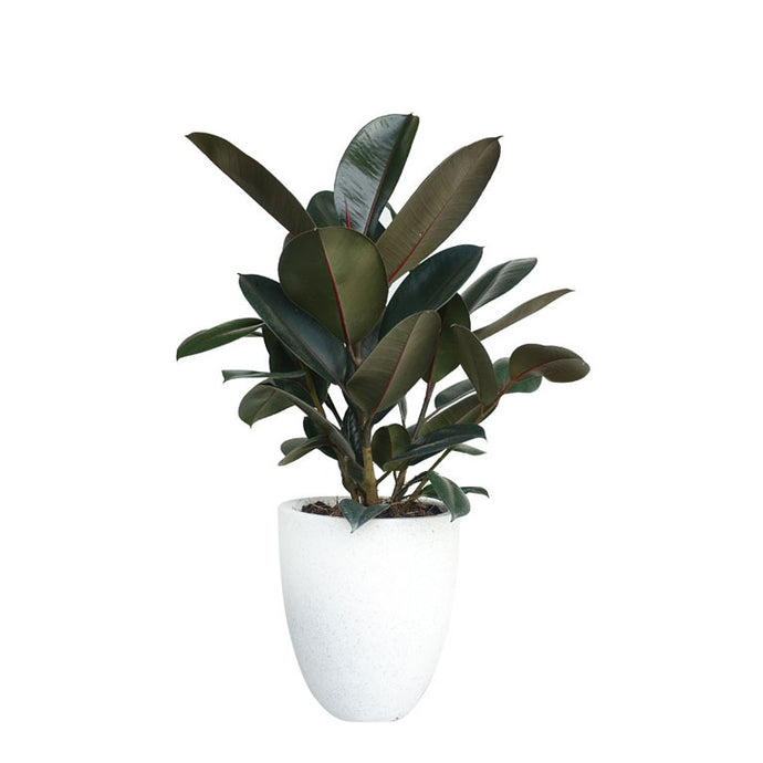 Rubber Tree Burgundy 18-20
