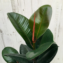"Rubber Tree Burgundy 18-20"" Tall (Ficus robusta) Air Purifying Indoor Plant - Pretty in Green Plants"