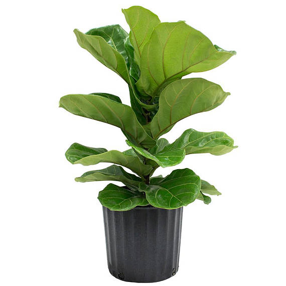 Fiddle Leaf Fig Tree 'Bambino' 30 in / 2.5 ft (Ficus Lyrata) - Pretty in Green Plants