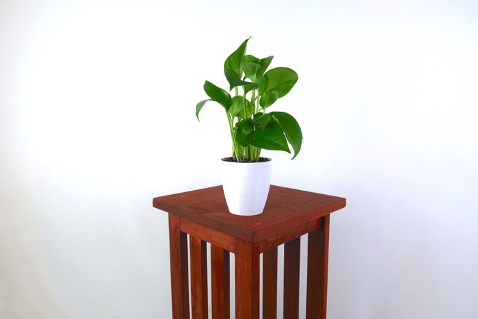 Golden Pothos (Devil's Ivy) Air Purifying Plant - Pretty in Green Plants