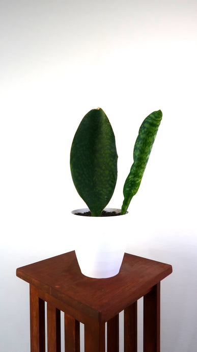 Large Whale fin Snake Plant With Pup (Sansevieria Masoniana) Air Purifying Indoor Plant - Pretty in Green Plants