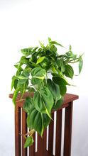 Large Philodendron Brasil Air Purifying Indoor Plant- Live Houseplant Plant - Pretty in Green Plants