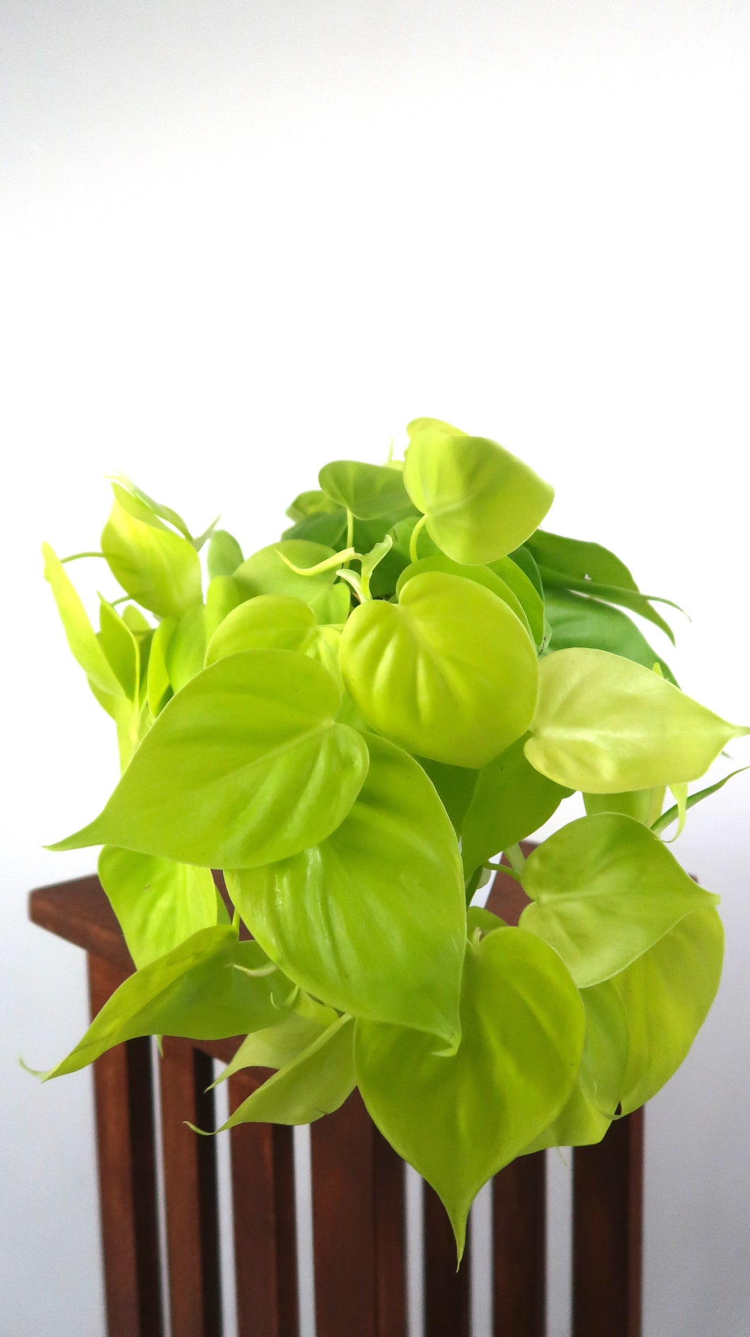 Large Neon Philodendron Air Purifying Indoor Plant- Live Houseplant Plant - Pretty in Green Plants