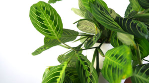 Large Prayer Plant (Lemon Maranta) Air Purifying Indoor Plant- Live Houseplant Plant - Pretty in Green Plants