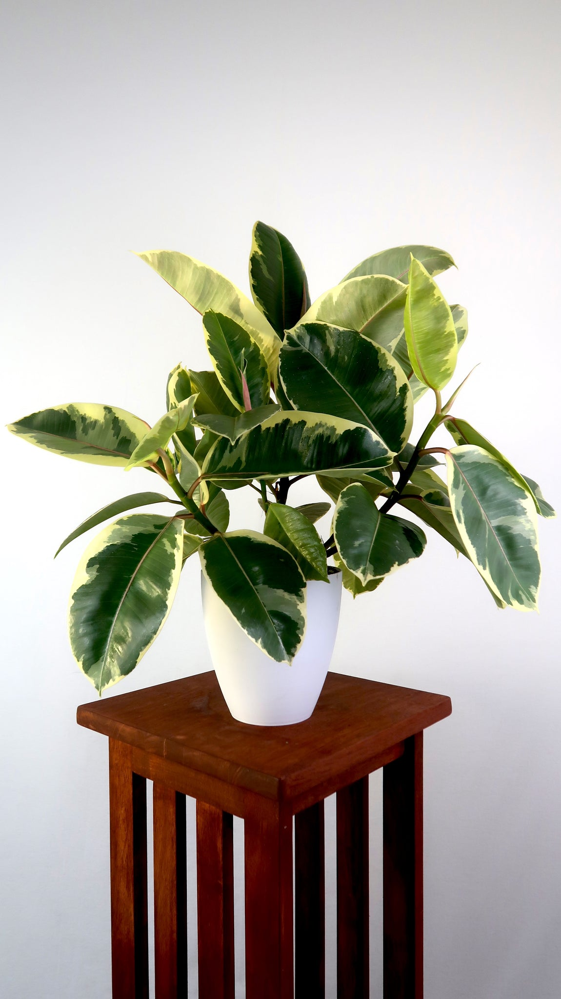 Large Variegated Rubber Plant Ruby (Ficus Robusta) in 6 ...