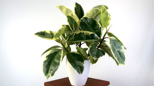 Variegated Rubber Plant Ruby (Ficus Robusta) Air Purifying Indoor Plant - Pretty in Green Plants