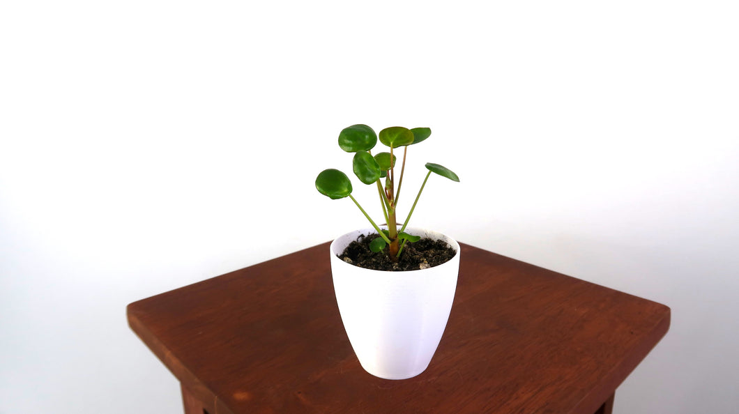 Baby Pilea Peperomioides Live Indoor Plant - Pretty in Green Plants