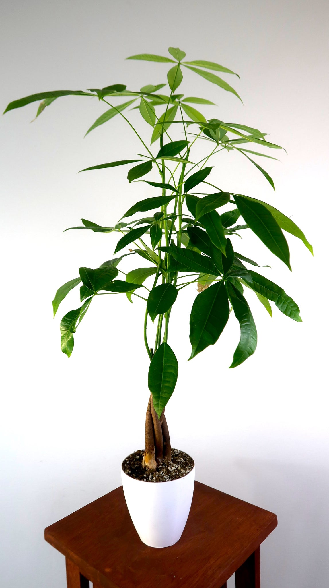 Large Money Tree Air Purifying Live Indoor Plant - Pretty ...