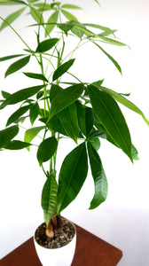 Money Tree Air Purifying Live Indoor Plant - Pretty in Green Plants