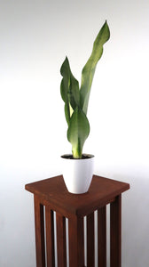 Rare Extra Large Snake Plant (Sansevieria Moonshine) Air Purifying Plant - Pretty in Green Plants