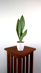 Snake Plant / Mother in Law's Tongue (Sansevieria Robusta) Air Purifying Plant - Pretty in Green Plants