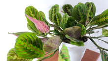 Large Prayer Plant (Red Maranta) Air Purifying Indoor Plant - Pretty in Green Plants