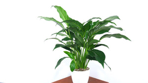 Large Peace Lily Air Purifying Plant - Pretty in Green Plants