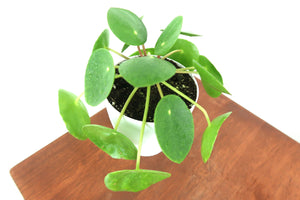 Pilea Peperomioides in 3D Printed BioPot