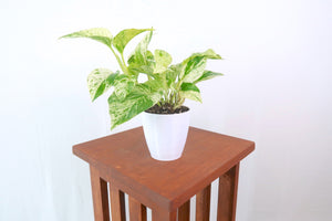 Marble Pothos houseplant in 3D Printed Biodegradable Pot