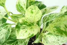 Macro image of Marble Pothos houseplant in 3D Printed Biodegradable Pot