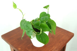 Heartleaf Philodendron houseplant in 3D Printed Biodegradable Pot