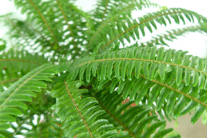 Boston Fern - Live Air Purifying Hanging Plant 3D Printed BioPot