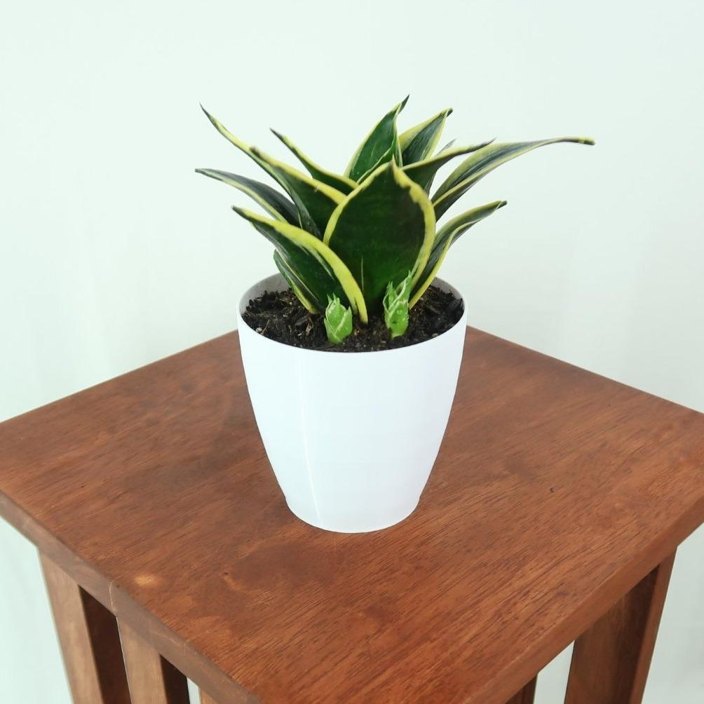 Medium Yellow Birds Nest Snake Plant (Sansevieria Hahnii Black Star) in 4