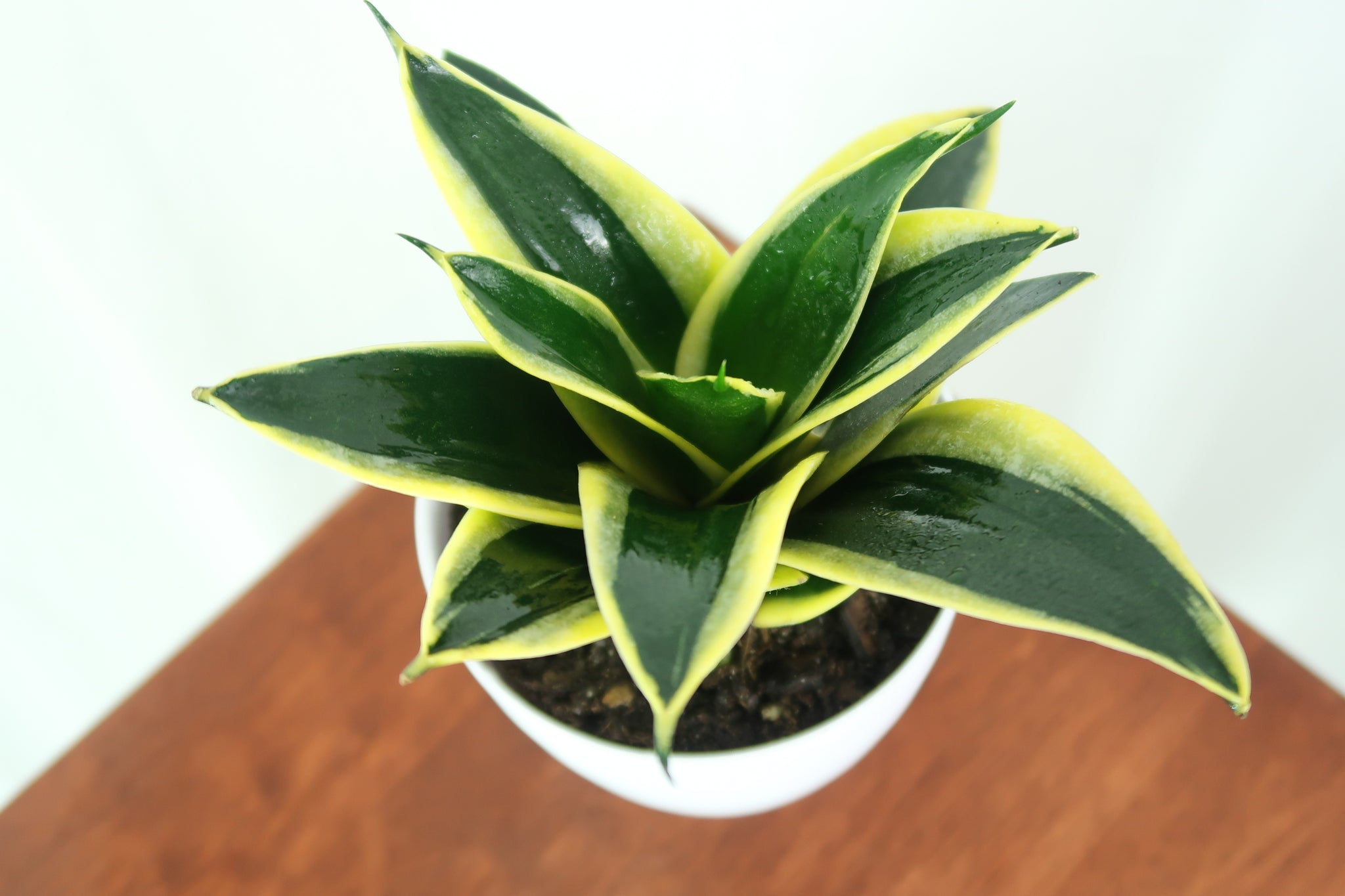 Medium Yellow Birds Nest Snake Plant (Sansevieria Hahnii Black ...