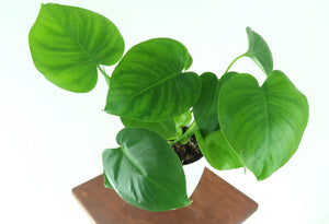 "Medium Monstera Deliciosa (Swiss cheese plant / Split-leaf Philodendron) in 6"" 3D Printed BioPot™"