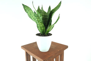 "Large Snake Plant  (Sansevieria robusta) in 6"" 3D Printed BioPot™"