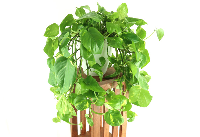 Extra Large Golden Pothos (Devil's Ivy) Live Air Purifying Plant in BioPot