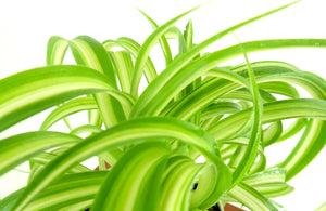Spider Plant - Live Air Purifying House Plant in 3D Printed BioPot