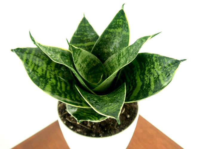 Medium Snake Plant (Green Sansevieria Hahnii) in 4