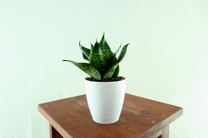 "Medium Snake Plant (Green Sansevieria Hahnii) in 4"" 3D Printed BioPot™"