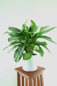 Extra-Large Chinese Evergreen (Silver Bay) Live Air Purifying Plant in 3D Printed BioPot