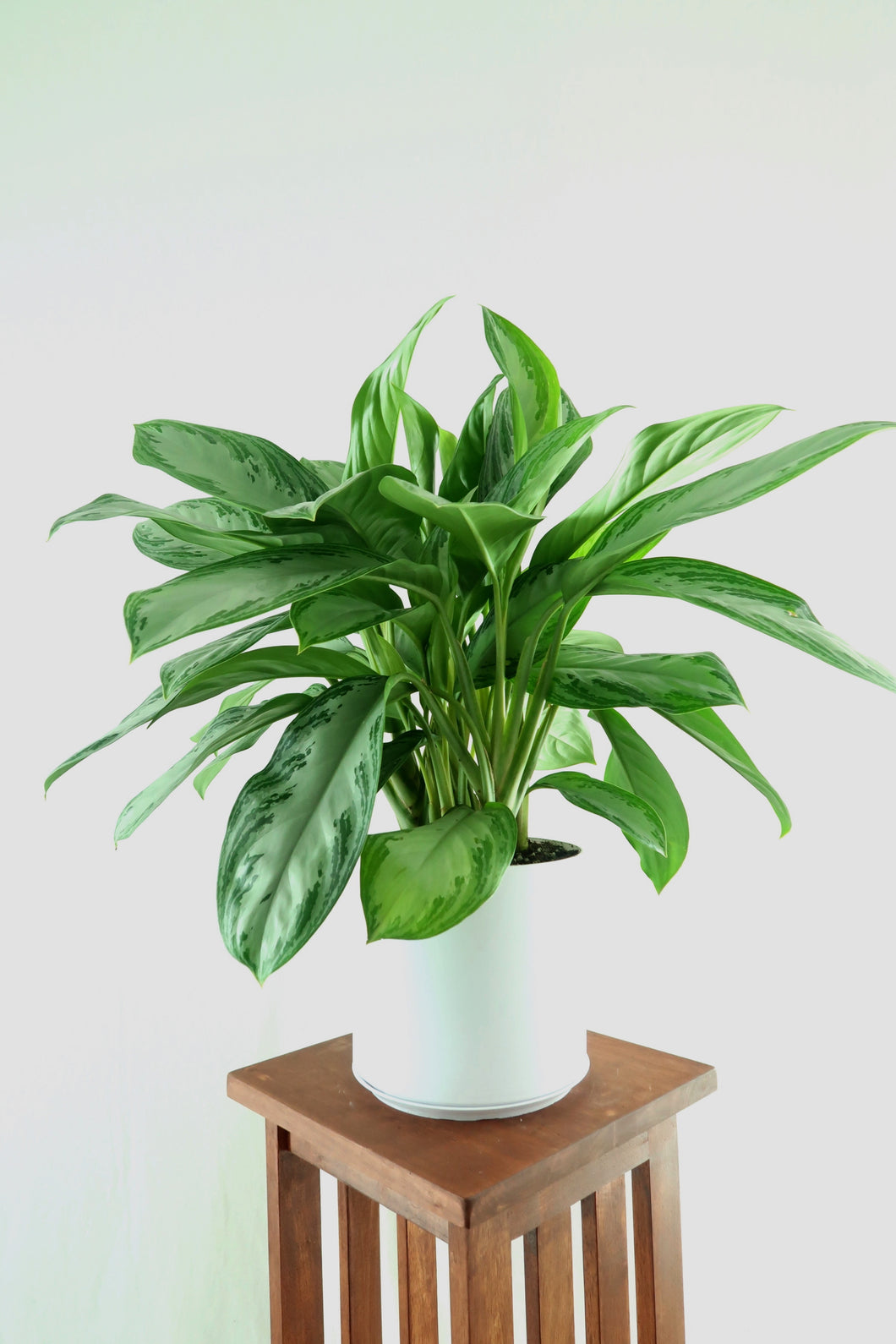 Extra Large Chinese Evergreen - SHIPS FREE - (Silver Bay) in 8