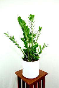 Extra Large ZZ Plant (Zamioculcas Zamiifolia) - Live Air Purifying House Plant in 3D Printed BioPot