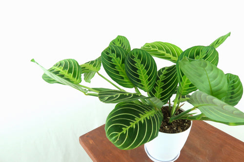 Medium Prayer Plant (Lemon Maranta) in 4