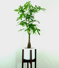 "Extra Large Money Tree (Pachira Aquatica) in 8"" 3D Printed BioPot™"