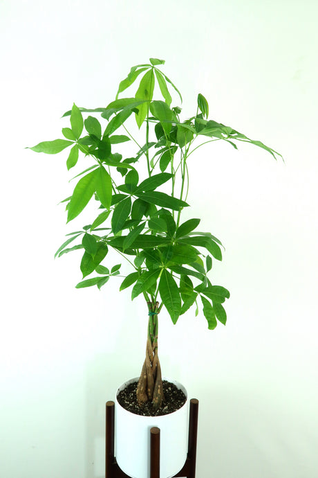 Extra Large Money Tree (Pachira Aquatica) in 8