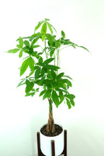 "Extra Large Money Tree - SHIPS FREE - (Pachira aquatica) in 8"" 3D Printed BioPot™"