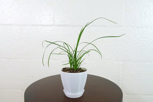 "Baby Ponytail Palm (Beaucarnea Recurvata) in 3"" 3D Printed BioPot™"