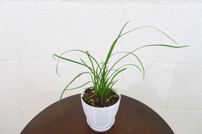 Baby Ponytail Palm (Beaucarnea Recurvata) in 3