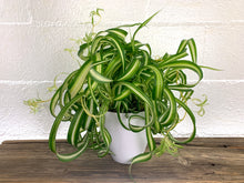 "Large Curly Bonnie Spider (Chlorophytum Comosum) in 6"" 3D Printed BioPot™"