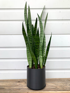 "Large Snake Plant / Mother in Law's Tongue (Sansevieria Zeylanica)  in 6"" 3D Printed BioPot™"