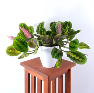 "Large Prayer Plant (Red Maranta) in 6"" 3D Printed BioPot™"