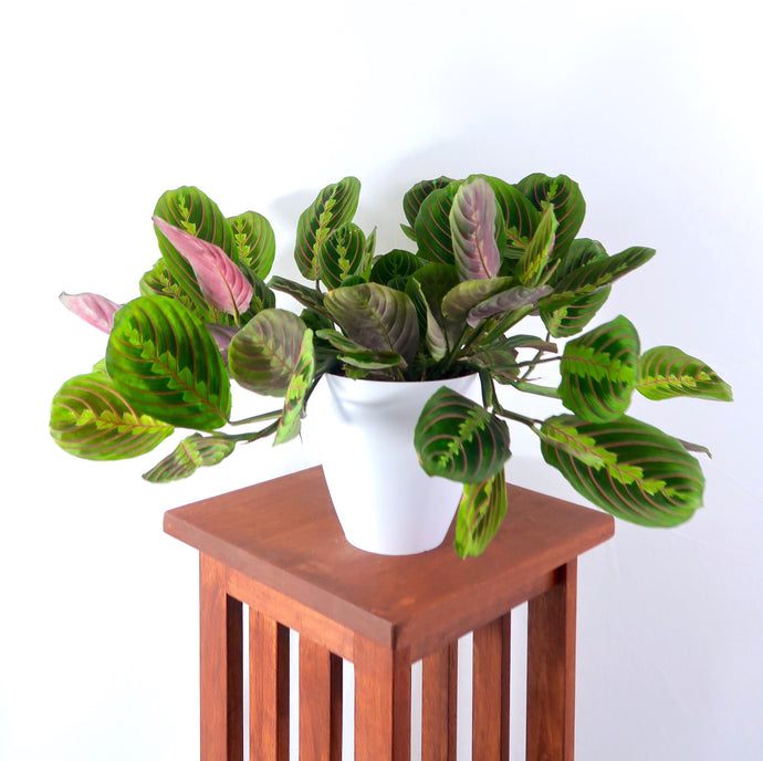 Large Prayer Plant (Red Maranta) in 6