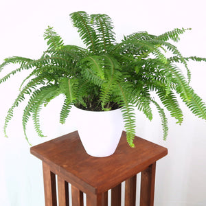 "Large Boston Fern - SHIPS FREE -  (Nephrolepis exaltata) in 6"" 3D Printed BioPot™"