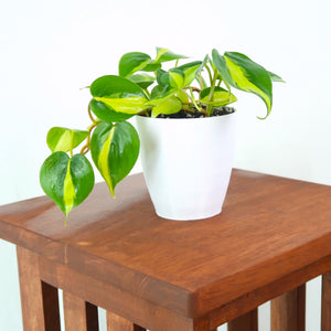 Philodendron 'Brasil' (Pothos) Live Air Purifying Hanging Plant in 3D Printed BioPot