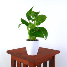 "Medium Golden Pothos (Devil's Ivy) in 4"" 3D Printed BioPot™"