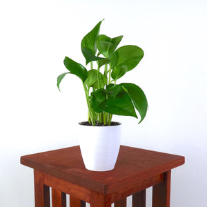 Golden Pothos (Devil's Ivy) Live Air Purifying Plant in 3D Printed BioPot