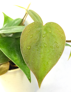 Macro image of Heartleaf Philodendron Air Purifying Plant