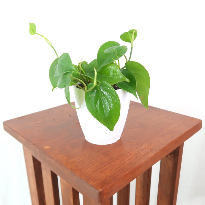 Medium Heartleaf Philodendron (Philodendron Cordatum) in 4